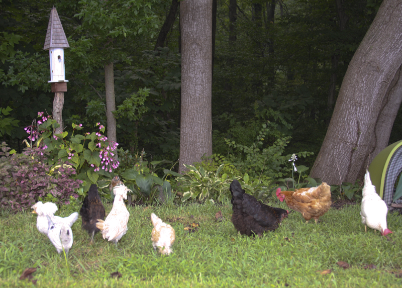 chickens-on-wallkabout-august-09