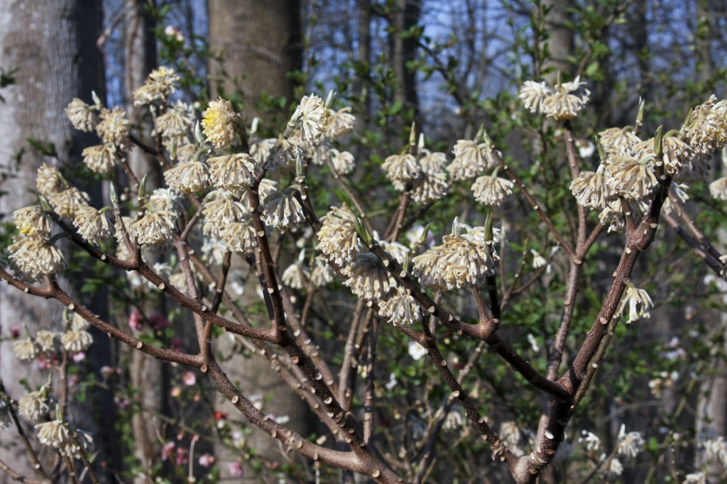 edgeworthia